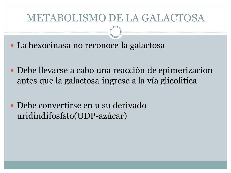 METABOLISMO DE LA GALACTOSA La hexocinasa no reconoce la galactosa Debe llevarse a cabo una reacción de epimerizacion antes que la galactosa ingrese a