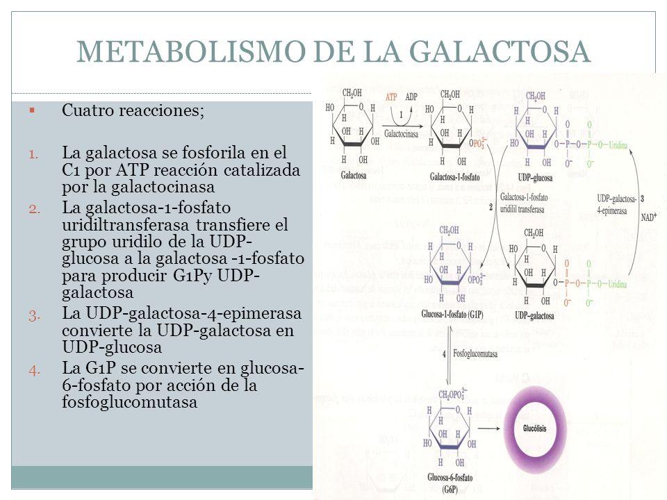 METABOLISMO DE LA GALACTOSA Cuatro reacciones; 1. La galactosa se fosforila en el C1 por ATP reacción catalizada por la galactocinasa 2. La galactosa-