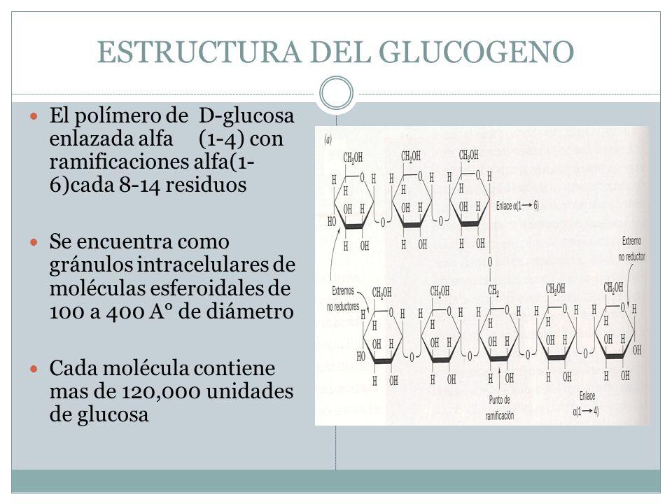 ESTRUCTURA DEL GLUCOGENO El polímero de D-glucosa enlazada alfa (1-4) con ramificaciones alfa(1- 6)cada 8-14 residuos Se encuentra como gránulos intra