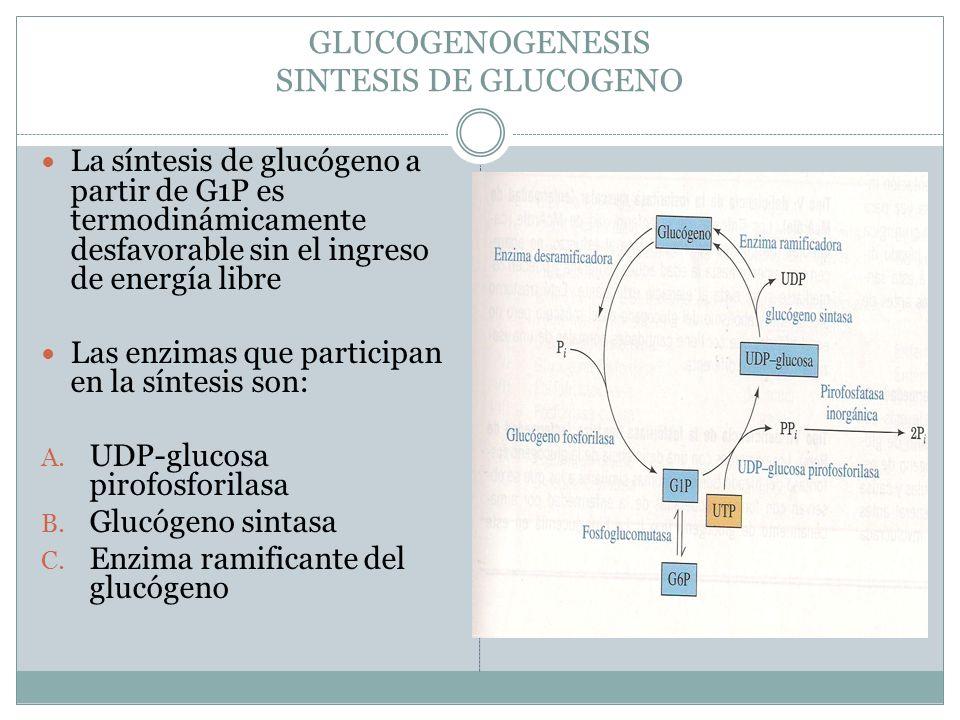 GLUCOGENOGENESIS SINTESIS DE GLUCOGENO La síntesis de glucógeno a partir de G1P es termodinámicamente desfavorable sin el ingreso de energía libre Las