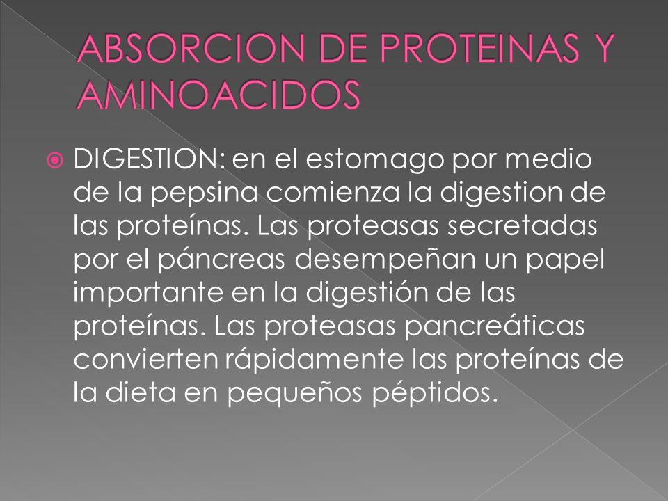 DIGESTION: en el estomago por medio de la pepsina comienza la digestion de las proteínas. Las proteasas secretadas por el páncreas desempeñan un papel