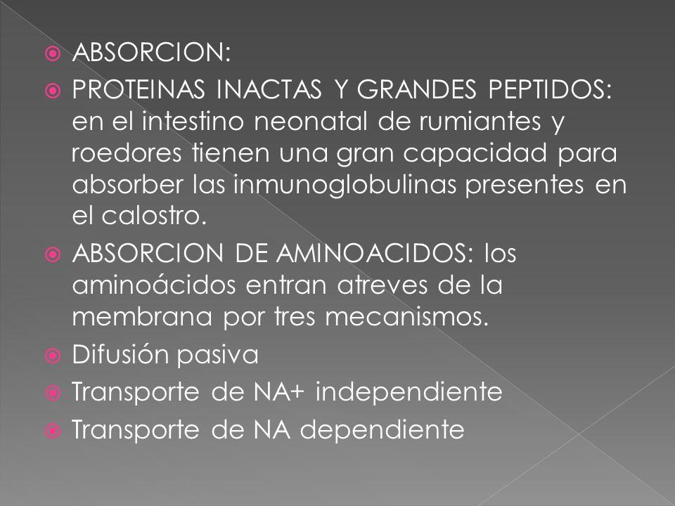 ABSORCION: PROTEINAS INACTAS Y GRANDES PEPTIDOS: en el intestino neonatal de rumiantes y roedores tienen una gran capacidad para absorber las inmunogl