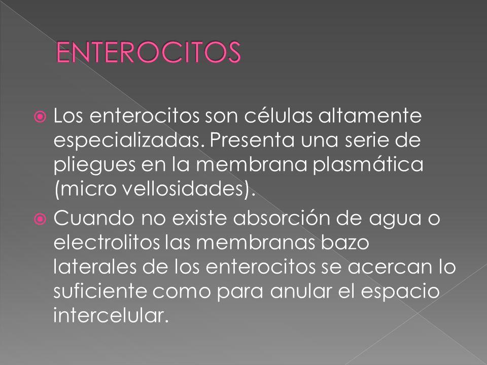 Los enterocitos son células altamente especializadas. Presenta una serie de pliegues en la membrana plasmática (micro vellosidades). Cuando no existe