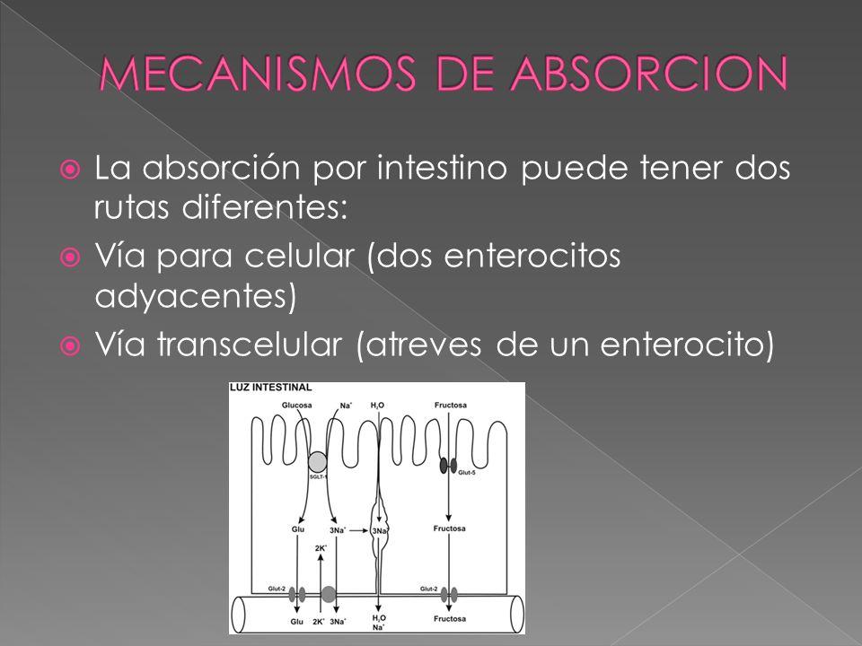 La absorción por intestino puede tener dos rutas diferentes: Vía para celular (dos enterocitos adyacentes) Vía transcelular (atreves de un enterocito)