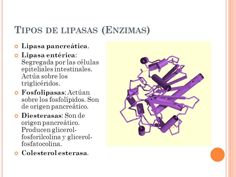 T IPOS DE LIPASAS (E NZIMAS ) Lipasa pancreática. Lipasa entérica : Segregada por las células epiteliales intestinales. Actúa sobre los triglicéridos.