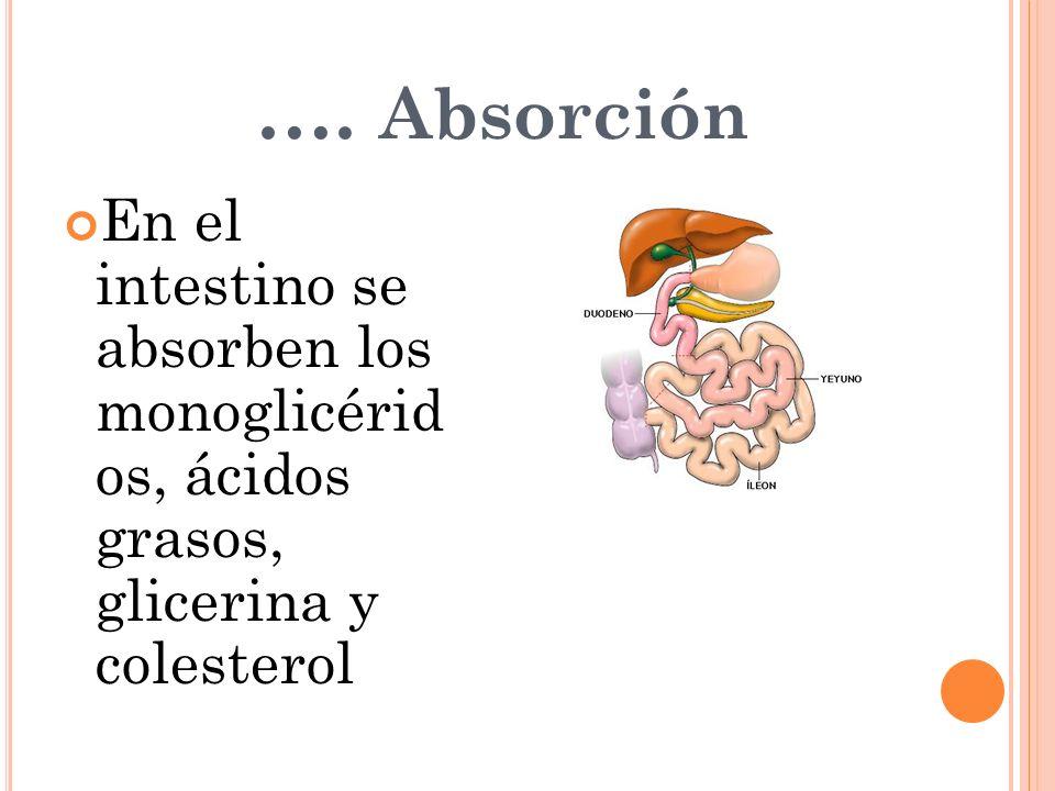 En el intestino se absorben los monoglicérid os, ácidos grasos, glicerina y colesterol …. Absorción