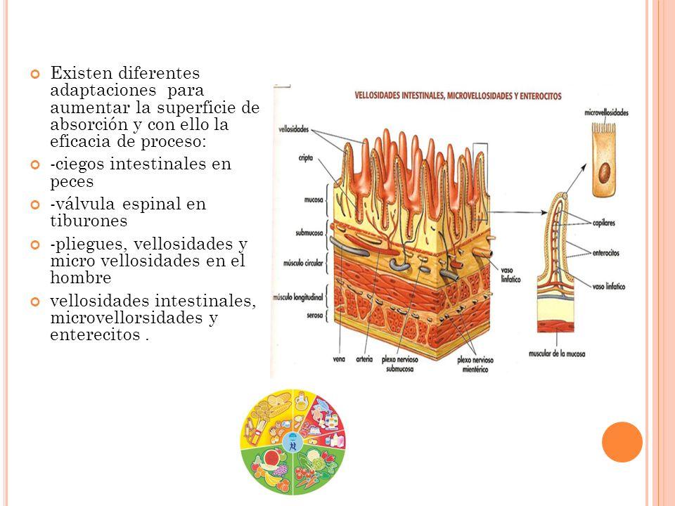 Existen diferentes adaptaciones para aumentar la superficie de absorción y con ello la eficacia de proceso: -ciegos intestinales en peces -válvula esp