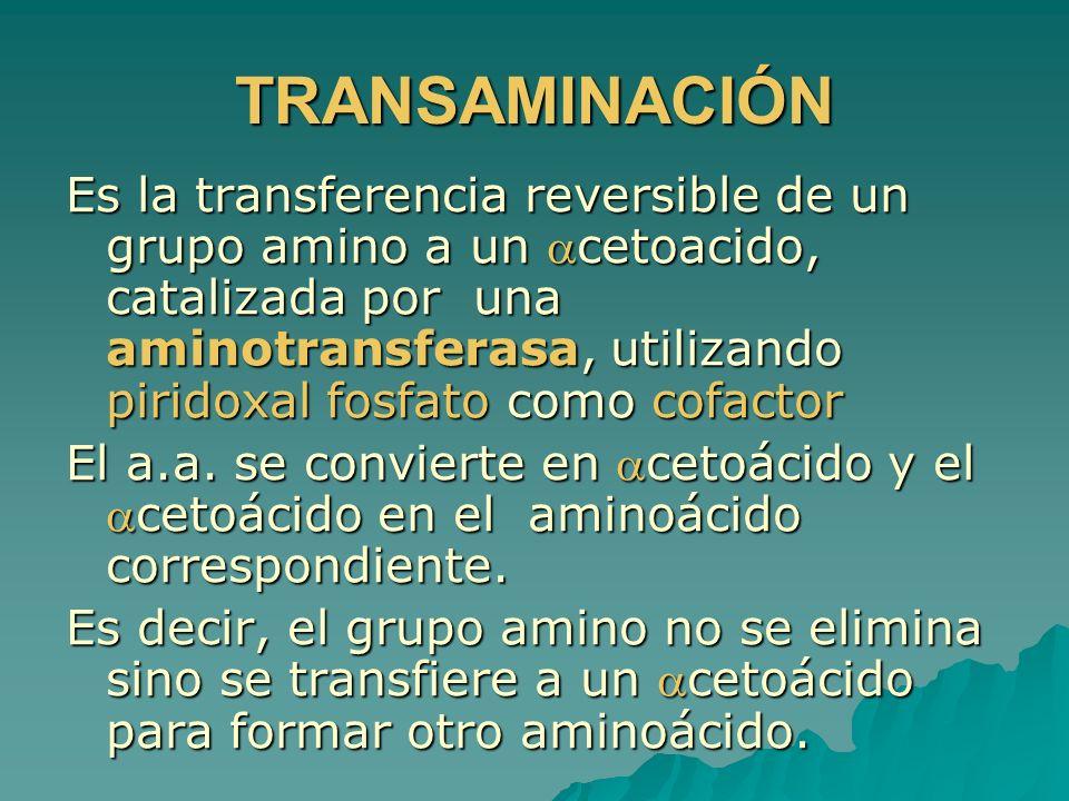 TRANSAMINACIÓN Es la transferencia reversible de un grupo amino a un cetoacido, catalizada por una aminotransferasa, utilizando piridoxal fosfato como