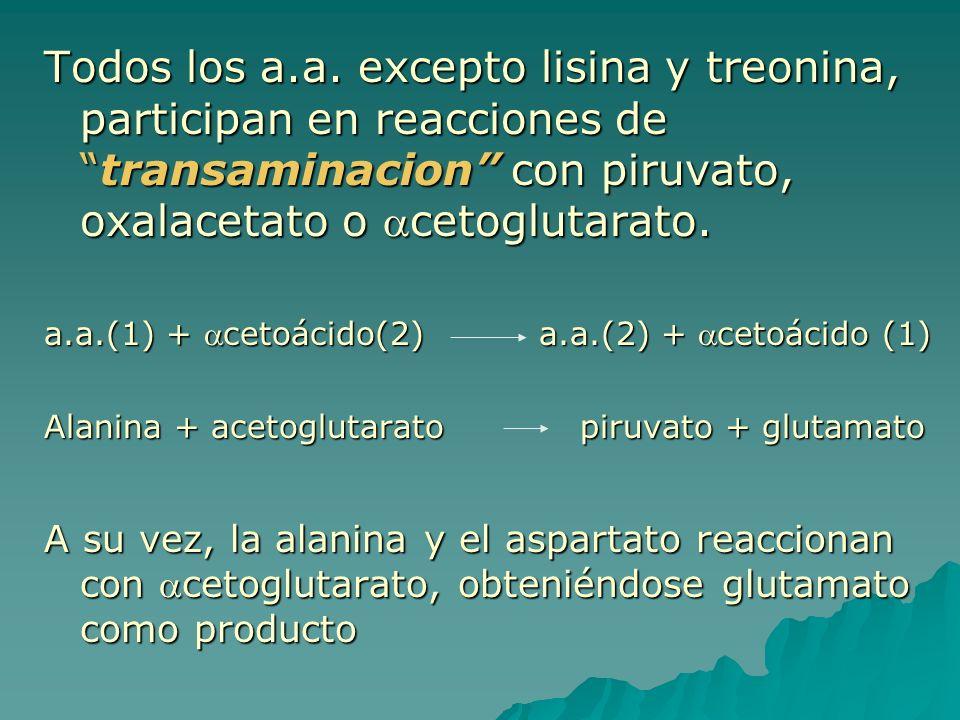 Todos los a.a. excepto lisina y treonina, participan en reacciones detransaminacion con piruvato, oxalacetato o cetoglutarato. a.a.(1) + cetoácido(2)
