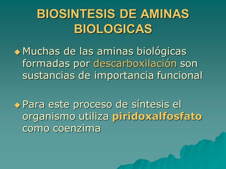 BIOSINTESIS DE AMINAS BIOLOGICAS Muchas de las aminas biológicas formadas por descarboxilación son sustancias de importancia funcional Muchas de las a