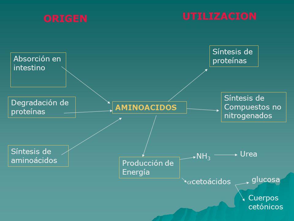 ORIGEN UTILIZACION Absorción en intestino Degradación de proteínas Síntesis de aminoácidos Síntesis de proteínas Síntesis de Compuestos no nitrogenado