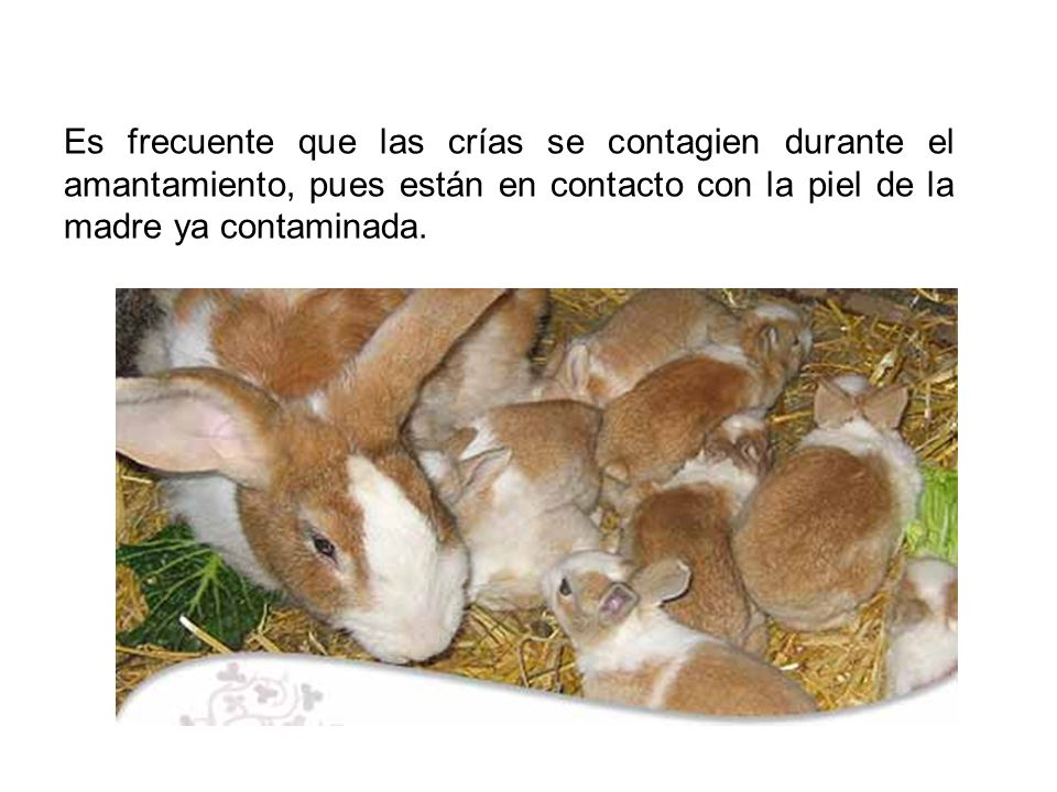 Es frecuente que las crías se contagien durante el amantamiento, pues están en contacto con la piel de la madre ya contaminada.