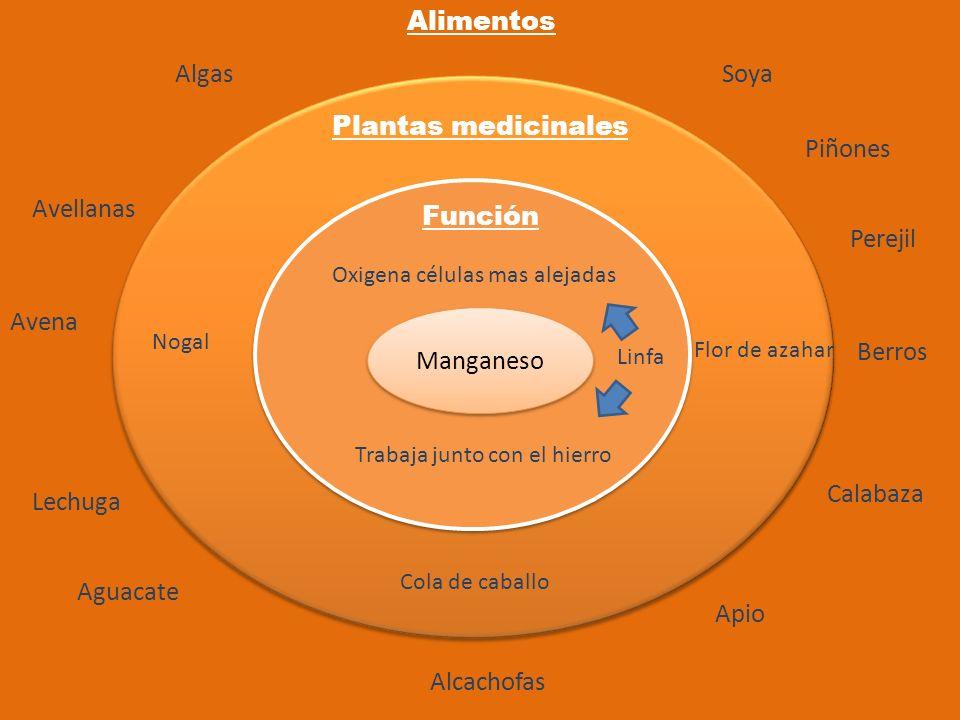 Manganeso Función Plantas medicinales Alimentos Flor de azahar Lechuga Aguacate Apio Calabaza Alcachofas Oxigena células mas alejadas Trabaja junto co