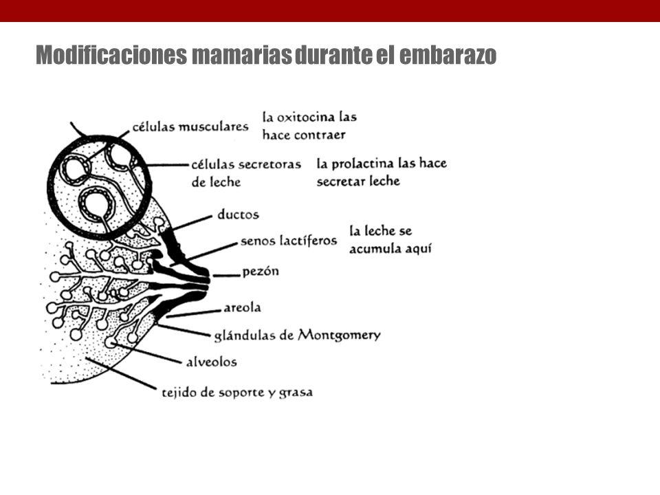 Modificaciones mamarias durante el embarazo