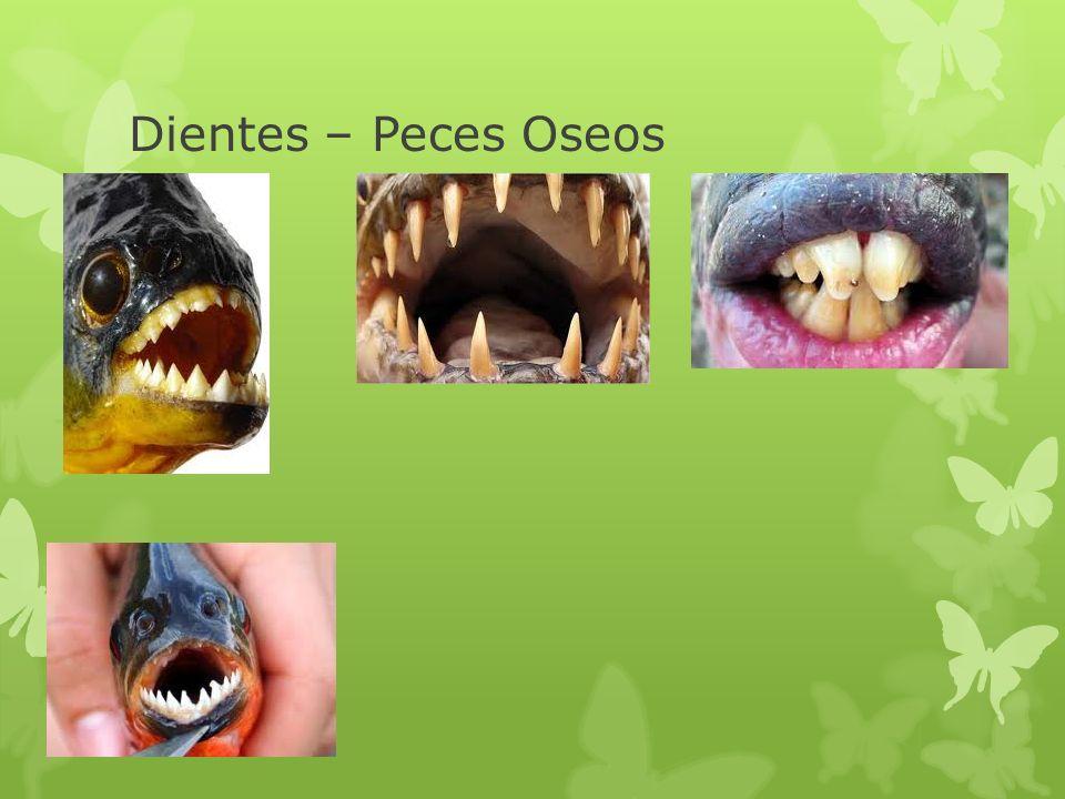 Dientes – Peces Oseos