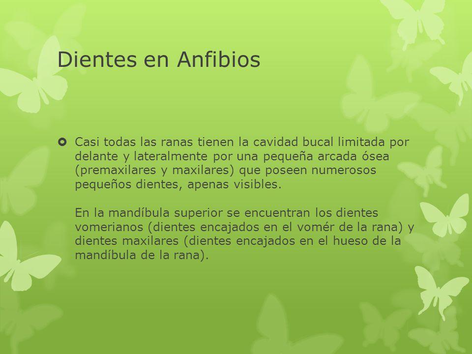 Dientes en Anfibios Casi todas las ranas tienen la cavidad bucal limitada por delante y lateralmente por una pequeña arcada ósea (premaxilares y maxil