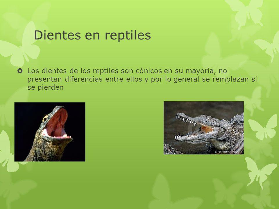Dientes en reptiles Los dientes de los reptiles son cónicos en su mayoría, no presentan diferencias entre ellos y por lo general se remplazan si se pi