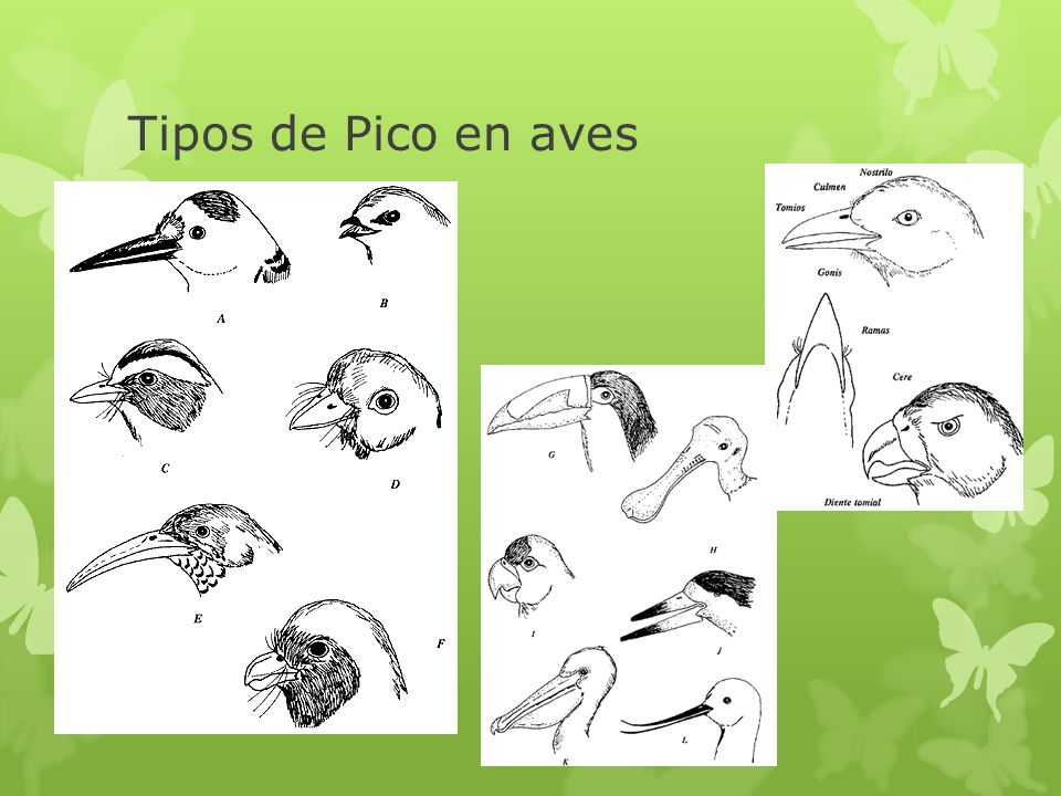 Tipos de Pico en aves