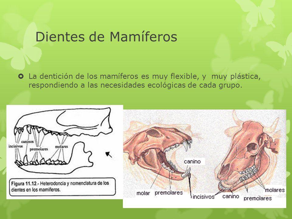 Dientes de Mamíferos La dentición de los mamíferos es muy flexible, y muy plástica, respondiendo a las necesidades ecológicas de cada grupo.