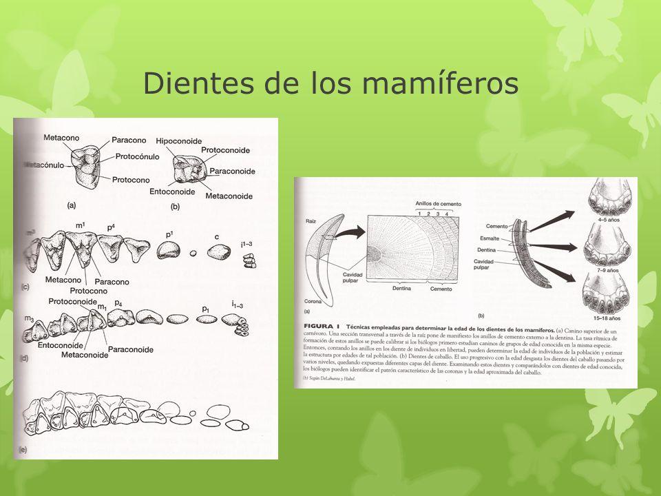Dientes de los mamíferos