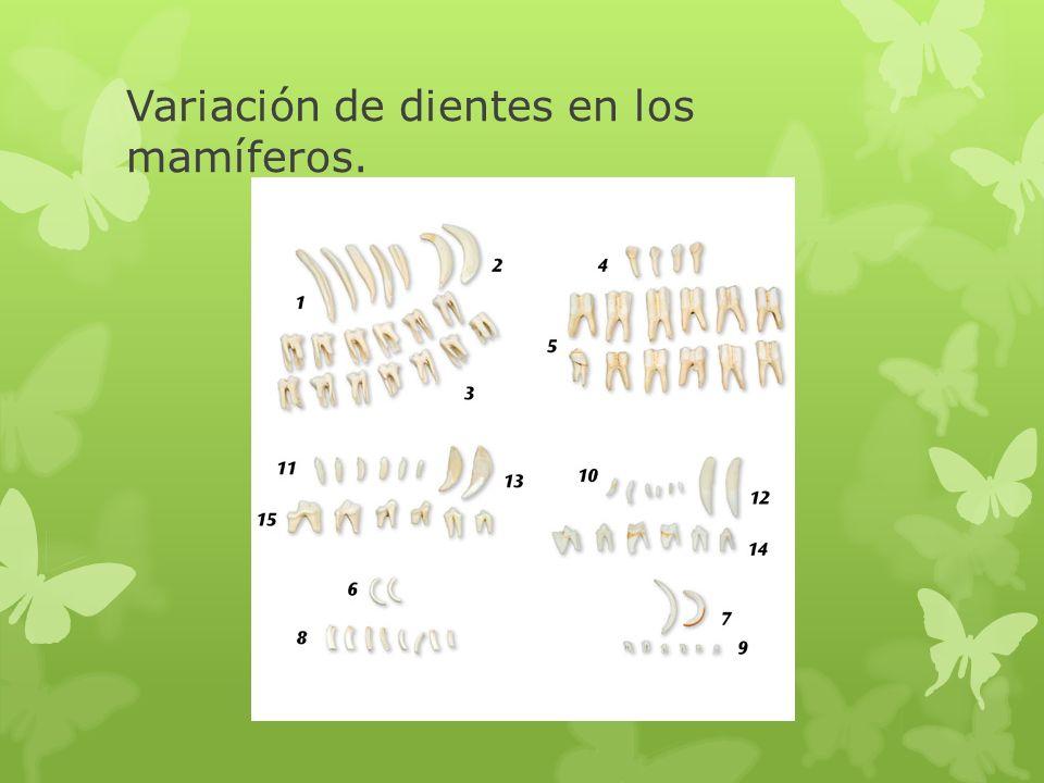 Variación de dientes en los mamíferos.