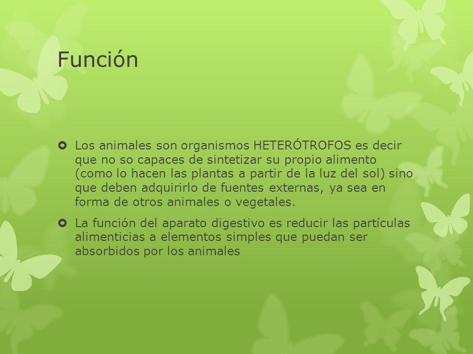 Función Los animales son organismos HETERÓTROFOS es decir que no so capaces de sintetizar su propio alimento (como lo hacen las plantas a partir de la
