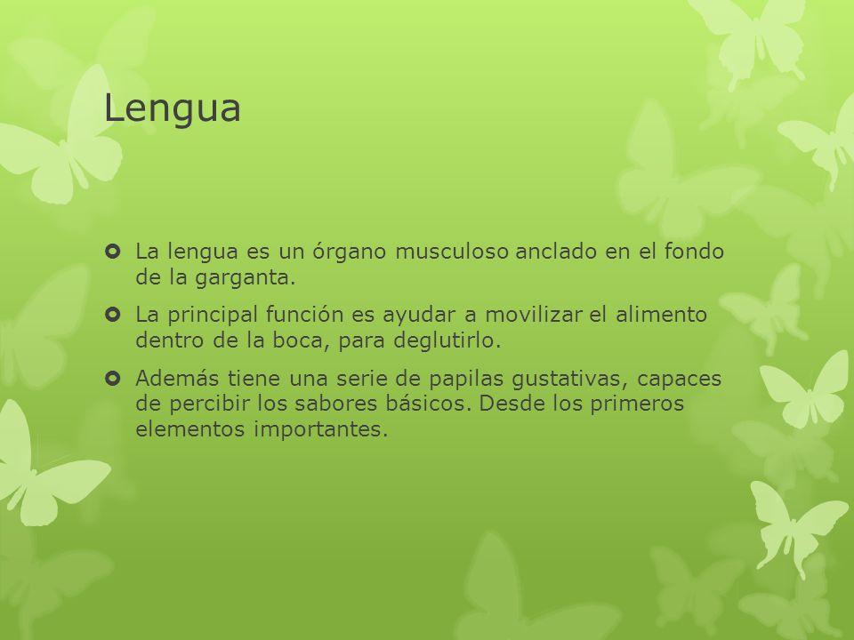 Lengua La lengua es un órgano musculoso anclado en el fondo de la garganta. La principal función es ayudar a movilizar el alimento dentro de la boca,