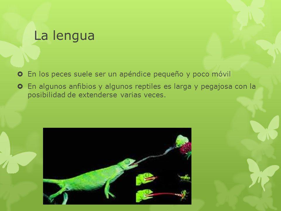 La lengua En los peces suele ser un apéndice pequeño y poco móvil En algunos anfibios y algunos reptiles es larga y pegajosa con la posibilidad de ext