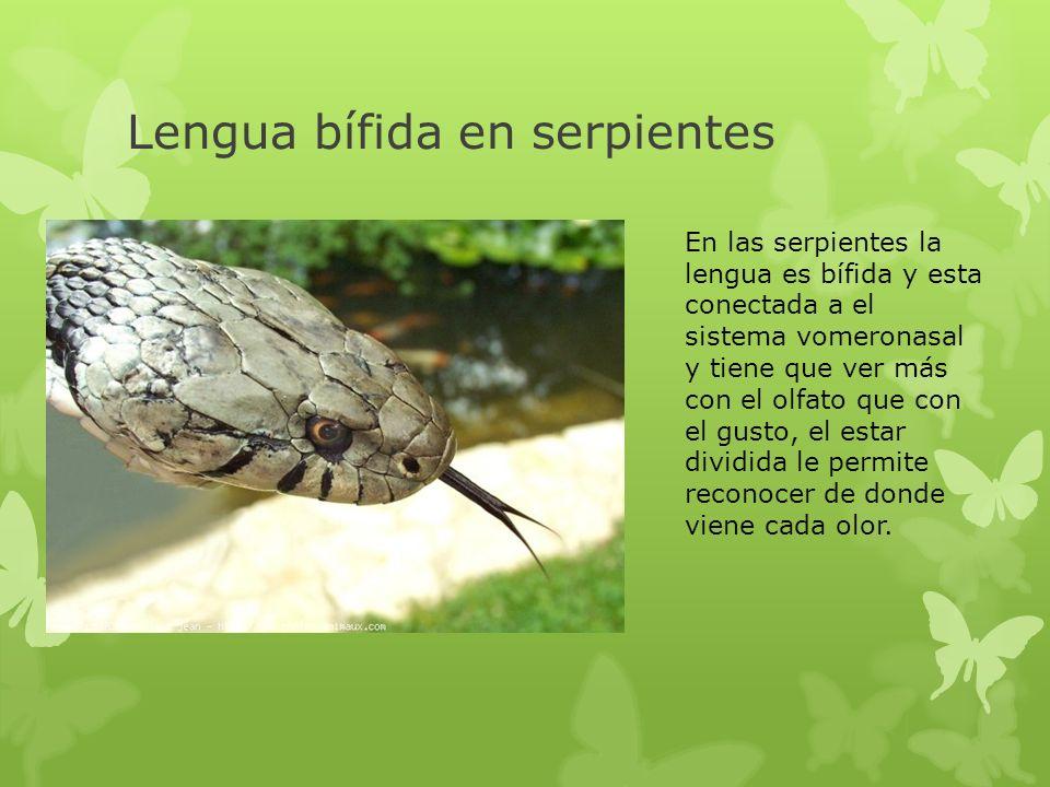 Lengua bífida en serpientes En las serpientes la lengua es bífida y esta conectada a el sistema vomeronasal y tiene que ver más con el olfato que con