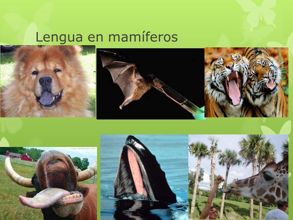 Lengua en mamíferos