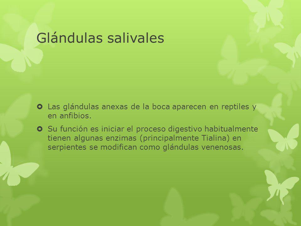 Glándulas salivales Las glándulas anexas de la boca aparecen en reptiles y en anfibios. Su función es iniciar el proceso digestivo habitualmente tiene