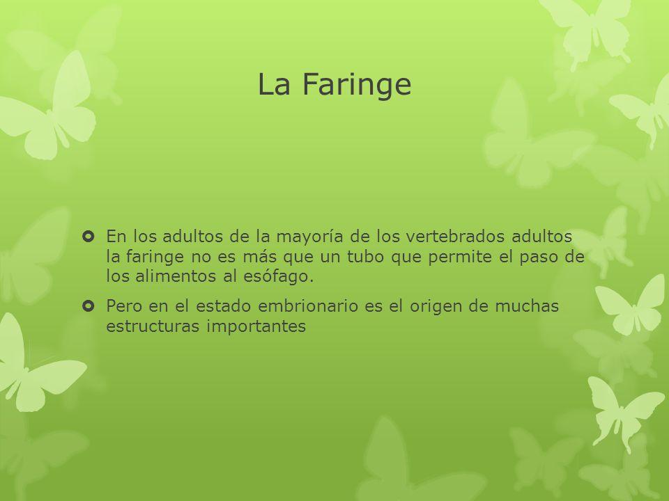 La Faringe En los adultos de la mayoría de los vertebrados adultos la faringe no es más que un tubo que permite el paso de los alimentos al esófago. P
