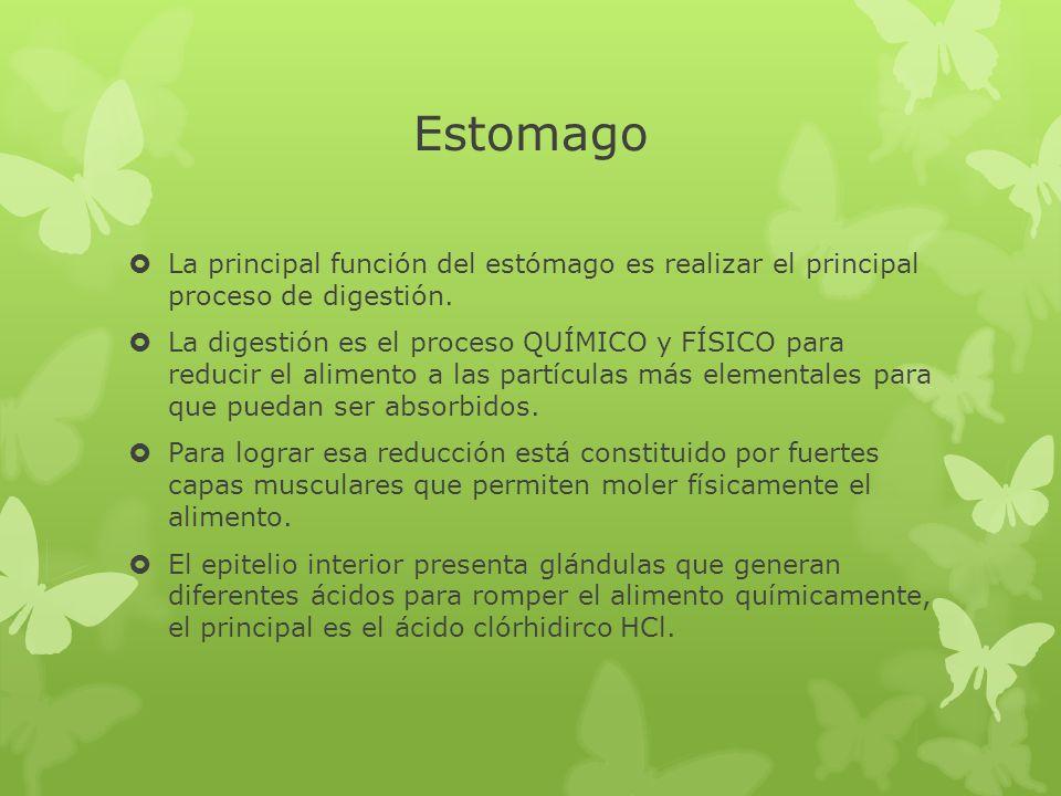 Estomago La principal función del estómago es realizar el principal proceso de digestión. La digestión es el proceso QUÍMICO y FÍSICO para reducir el