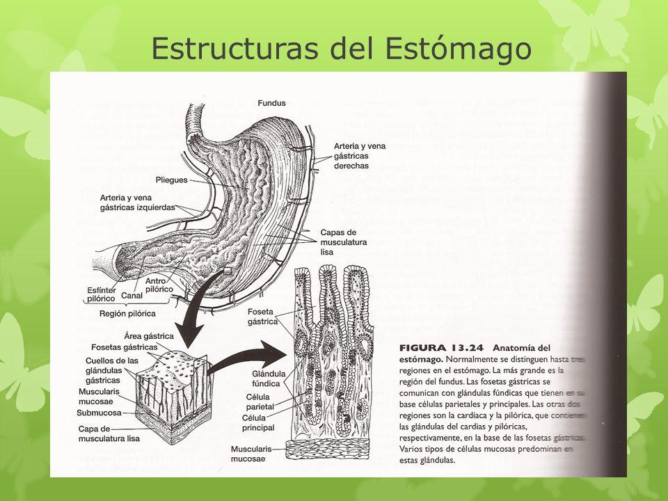 Estructuras del Estómago