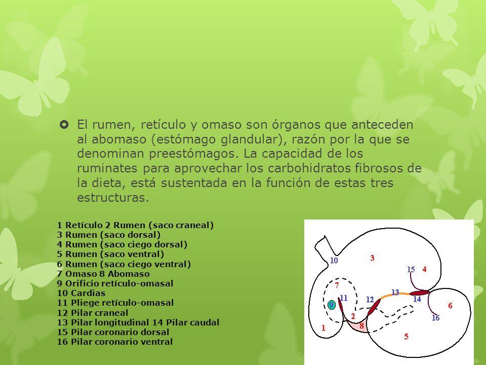 El rumen, retículo y omaso son órganos que anteceden al abomaso (estómago glandular), razón por la que se denominan preestómagos. La capacidad de los