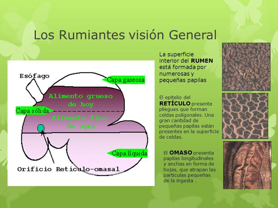 Los Rumiantes visión General El OMASO presenta papilas longitudinales y anchas en forma de hojas, que atrapan las partículas pequeñas de la ingesta. E