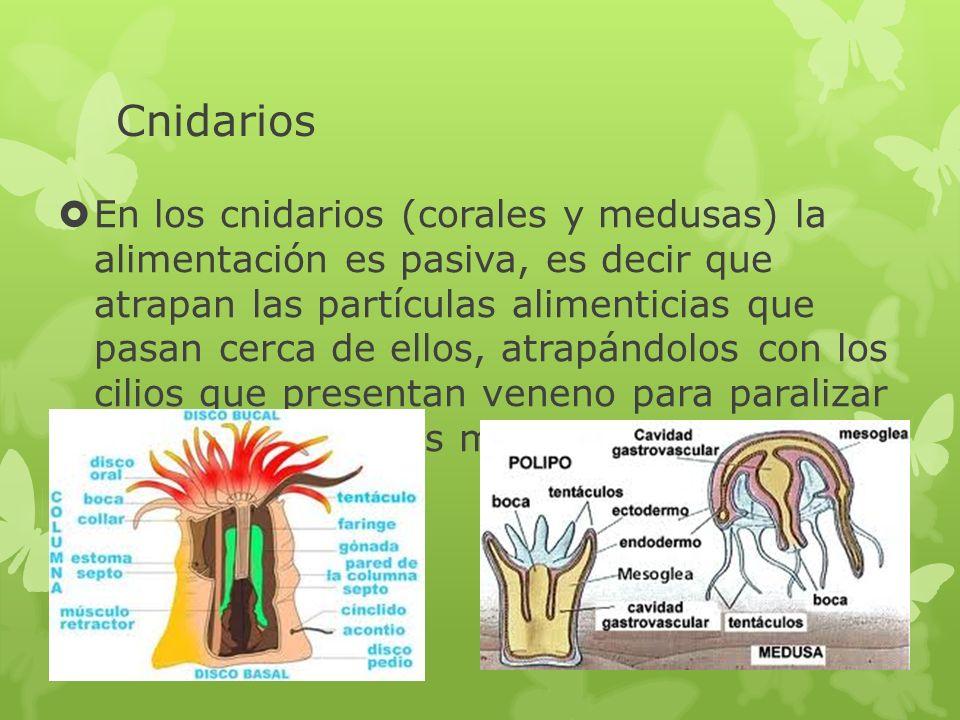 Cnidarios En los cnidarios (corales y medusas) la alimentación es pasiva, es decir que atrapan las partículas alimenticias que pasan cerca de ellos, a