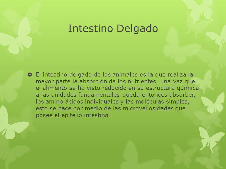 Intestino Delgado El intestino delgado de los animales es la que realiza la mayor parte la absorción de los nutrientes, una vez que el alimento se ha