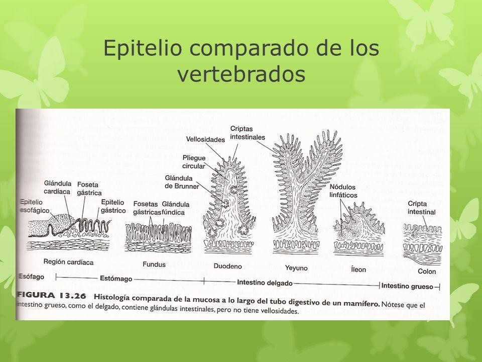 Epitelio comparado de los vertebrados