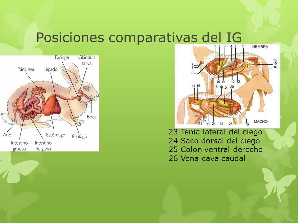 Posiciones comparativas del IG 23 Tenia lateral del ciego 24 Saco dorsal del ciego 25 Colon ventral derecho 26 Vena cava caudal