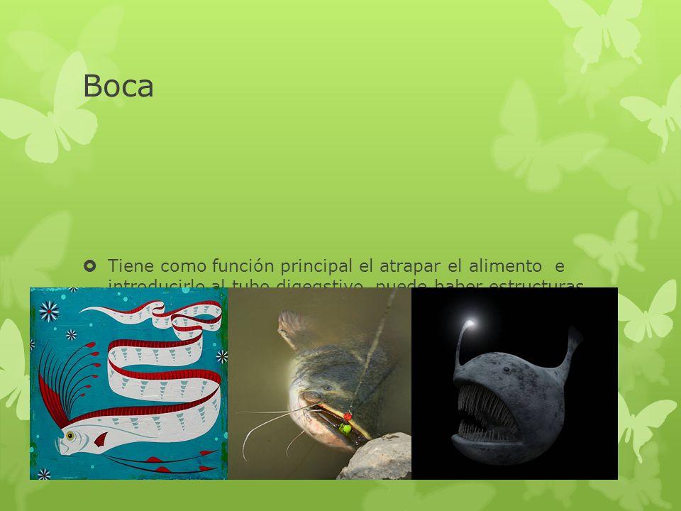 Boca Tiene como función principal el atrapar el alimento e introducirlo al tubo digegstivo, puede haber estructuras anexas Como en algunos peces para