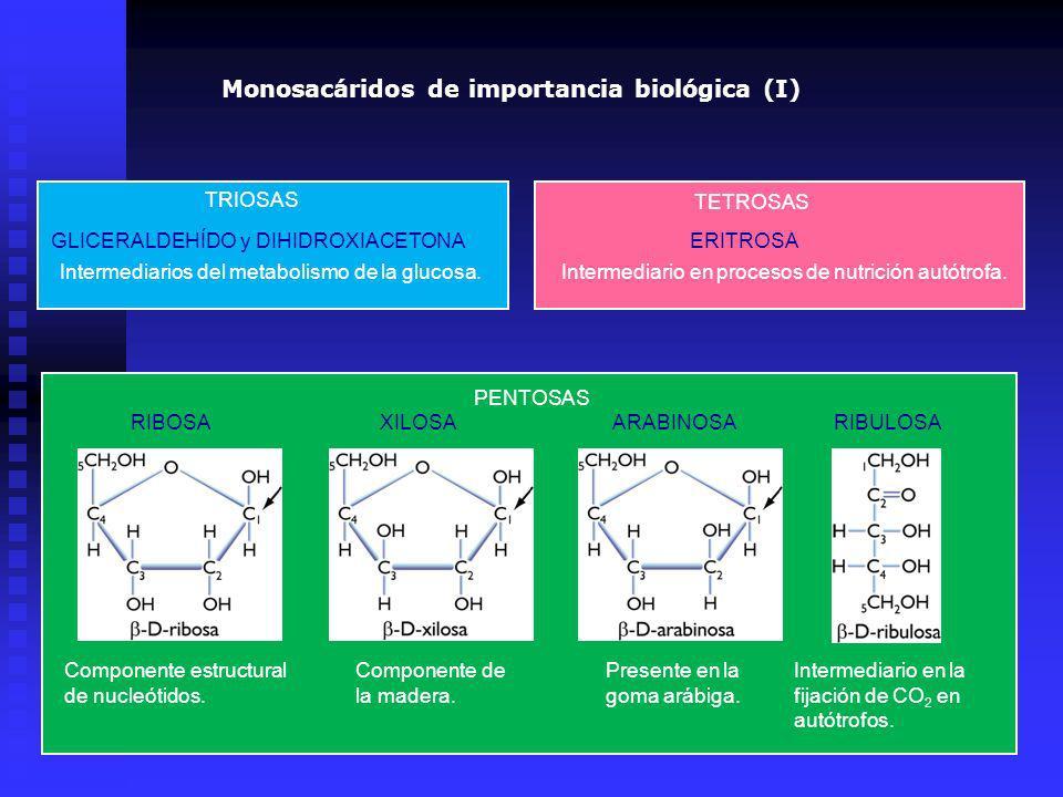 PENTOSAS TRIOSAS GLICERALDEHÍDO y DIHIDROXIACETONA Intermediarios del metabolismo de la glucosa. TETROSAS ERITROSA Intermediario en procesos de nutric