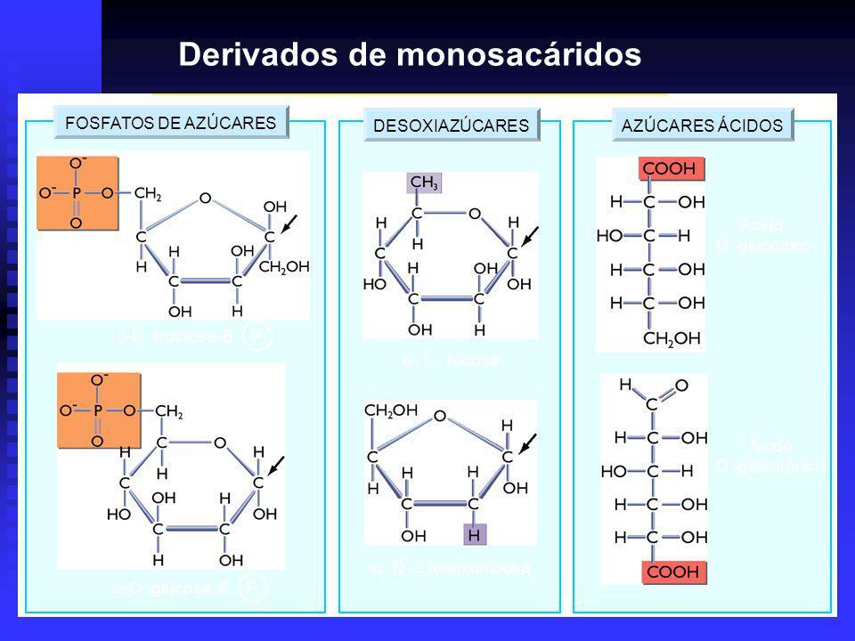 DESOXIAZÚCARESAZÚCARES ÁCIDOSFOSFATOS DE AZÚCARES -D -glucosa -6 P -D -fructosa -6 P - L - fucosa - D -2 desoxirribosa Ácido D -glucónico Ácido D -glucurónico Derivados de monosacáridos