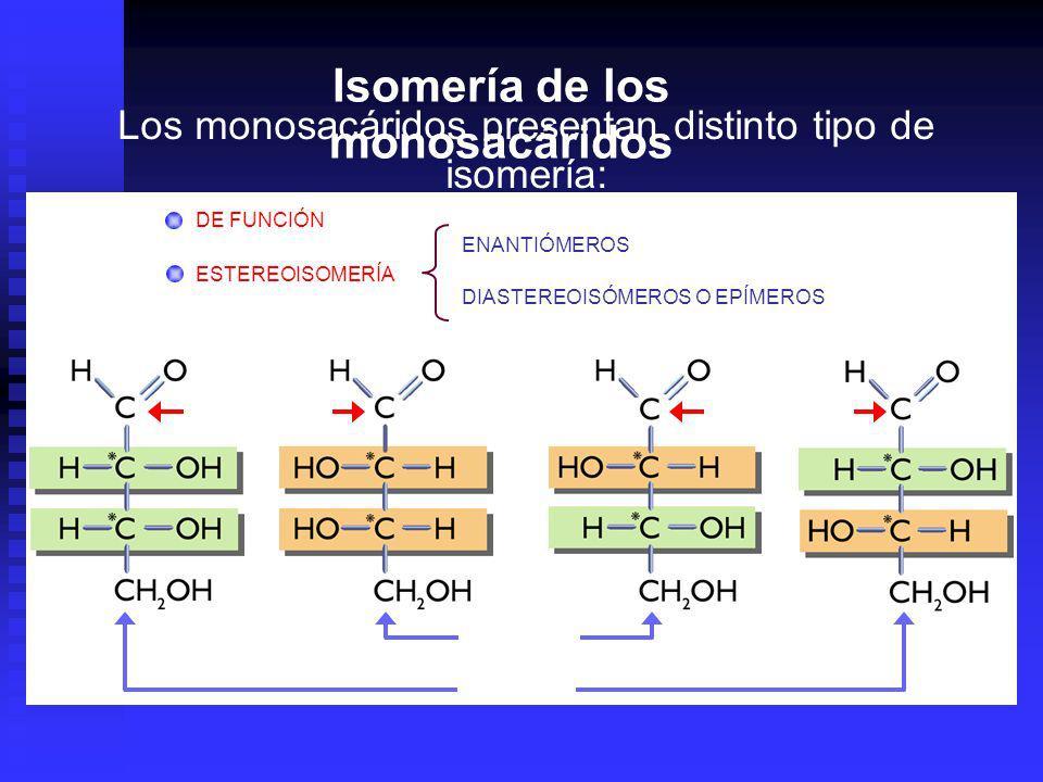 Los monosacáridos presentan distinto tipo de isomería: DE FUNCIÓN ESTEREOISOMERÍA ENANTIÓMEROS DIASTEREOISÓMEROS O EPÍMEROS epímeros enantiómeros Isomería de los monosacáridos