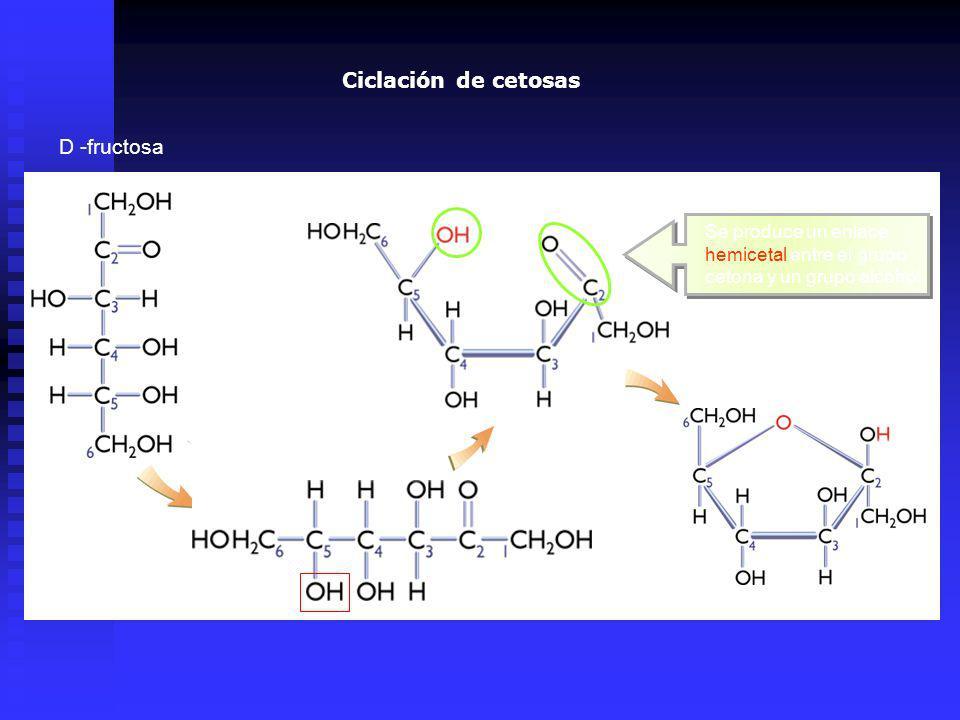 D -fructosa Se produce un enlace hemicetal entre el grupo cetona y un grupo alcohol Ciclación de cetosas
