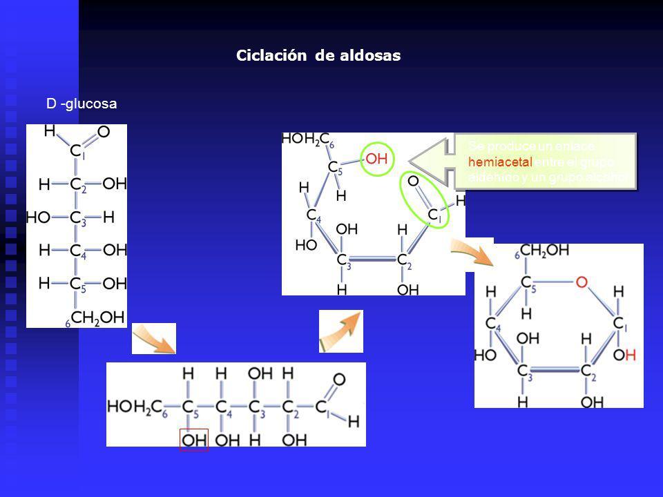 D -glucosa Se produce un enlace hemiacetal entre el grupo aldehído y un grupo alcohol Ciclación de aldosas