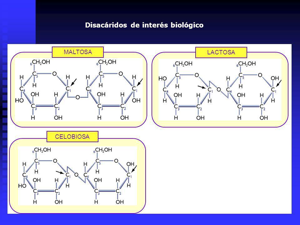 MALTOSA LACTOSA CELOBIOSA Disacáridos de interés biológico