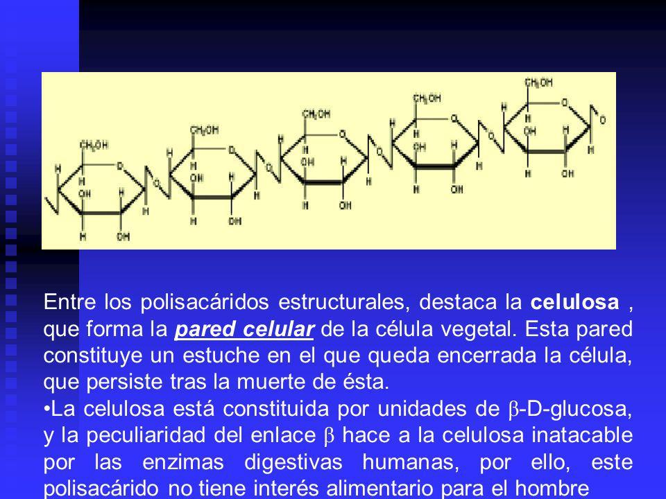 Entre los polisacáridos estructurales, destaca la celulosa, que forma la pared celular de la célula vegetal. Esta pared constituye un estuche en el qu