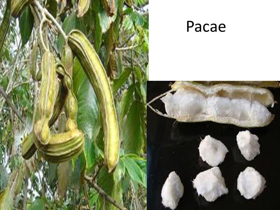 Pacae