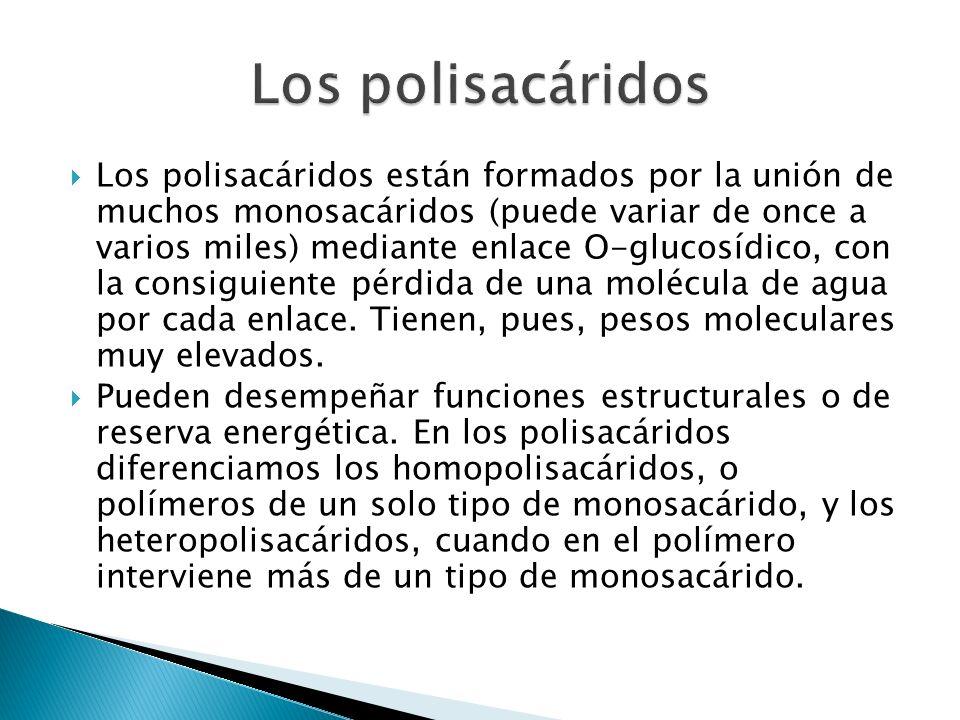 Los polisacáridos están formados por la unión de muchos monosacáridos (puede variar de once a varios miles) mediante enlace O-glucosídico, con la consiguiente pérdida de una molécula de agua por cada enlace.